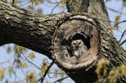 Digital Photography Prints - Screech Owl In A Tree Hollow Print by Darlyne A. Murawski