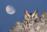 Feathered Prints - Screech Owl Print by Mircea Costina Photography