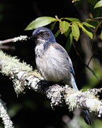 Scrub Jay . 7d6663 Print by Wingsdomain Art and Photography