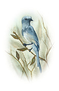 Scrub Jay Paintings - Scrub Jay by Elise Boam