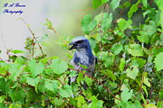 Oscar Scherer State Park Prints - Scrub Jay hiding in a grape vine Print by Barbara Bowen