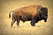 Bison Photos - Scruffy Bison in Springtime by Tam Graff