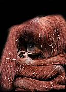 Orangutan Digital Art Metal Prints - Scrutiny Metal Print by Lesley Smitheringale