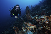 Wild One Photos - Scuba Diver And A Common Spiny Lobster by Terry Moore