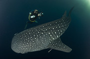 Water Filter Photos - Scuba Diver And Whale Shark, Papua by Steve Jones