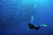 40-44 Years Prints - Scuba Diver looking at a school of Blackfin Barracuda Print by Sami Sarkis