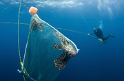 Invasive Species Photo Prints - Scuba Diver Nets Invasive Indo-pacific Print by Karen Doody