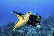 Hawksbill Sea Turtle Prints - Scuba Diver Swimming With Hawksbill Print by Karen Doody