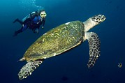 Critically Endangered Animal Prints - Scuba Diving With A Hawksbill Turtle Print by Georgette Douwma