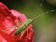 Katydid Prints - Scudders Bush Katydid Nymph Print by Wingsdomain Art and Photography