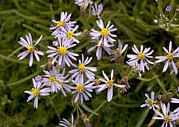 Aster  Photo Framed Prints - Sea Aster (aster Tripolium) Framed Print by Bob Gibbons