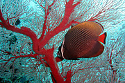 Underwater Posters - Sea Fan And Butterflyfish Poster by Takau99