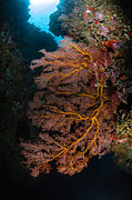 Indo-pacific Framed Prints - Sea Fan And Soft Coral, Fiji Framed Print by Todd Winner