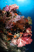 Gorgonian Photos - Sea Fans And Soft Coral, Fiji by Todd Winner