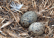 Sea Gull Prints - Sea Gull Eggs Ready To Hatch Print by Eddie Yerkish
