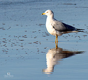 Blacks Photo Prints - Sea Gull Print by Russ Harris