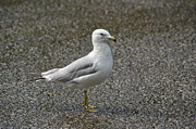 Zach Edlund Art - Sea Gull by Zach Edlund