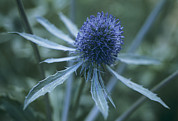 Umbel Prints - Sea Holly (eryngium Planum) Print by Maxine Adcock