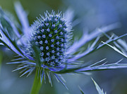 Selective Focus Framed Prints - Sea Holly Framed Print by Laszlo Podor Photography