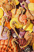 Shell Prints - Sea horses and sea shells Print by Garry Gay
