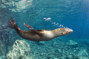 California Sea Lions Photos - Sea Lion Blowing Bubbles, Los Islotes by Todd Winner