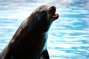 Endangered Photo Posters - Sea-Lion Poster by Carlos Caetano