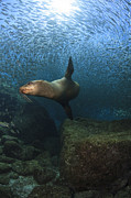 California Sea Lions Prints - Sea Lion Chasing A School Of Bait Fish Print by Todd Winner