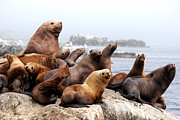 Kodiak Prints - Sea Lion Family Portrait Print by Michael Fiddleman, fiddography.com
