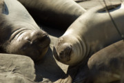 Sea Lions Prints - Sea Lion Love 2 Print by Wayne Stadler