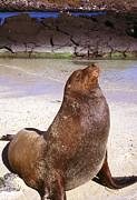 Sea Lion Framed Prints - Sea Lion  on Genovesa Island Framed Print by Thomas R Fletcher