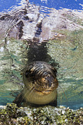 California Sea Lions Photos - Sea Lion Portrait, Los Islotes, La Paz by Todd Winner