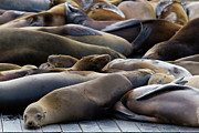 Sea Lion Photos - Sea Lions At Pier 39 by Hitesh Sawlani