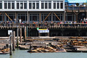 Sea Mammals Framed Prints - Sea Lions At Pier 39 San Francisco California . 7D14272 Framed Print by Wingsdomain Art and Photography