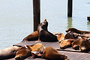 California Sea Lions Prints - Sea Lions At Pier 39 San Francisco California . 7D14314 Print by Wingsdomain Art and Photography