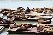 Elephant Seals Posters - Sea Lions At Pier 39 San Francisco California . 7D14316 Poster by Wingsdomain Art and Photography