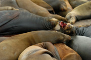 Sea Lion Photos - Sea Lions at Pier 39 San Francisco by Sebastian Musial