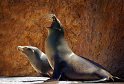 Wet Framed Prints - Sea Lions Framed Print by Carlos Caetano
