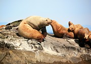 Sea Lions Photos - Sea LIons by Chris Dutton