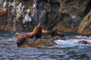 Sea Lions Prints - Sea Lions Print by Harry Spitz
