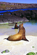 Sea Lions Prints - Sea Lions on Genovesa Island Print by Thomas R Fletcher