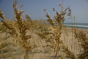 Atlantic Beaches Framed Prints - Sea Oats, A Vital Plant To Anchor Framed Print by Stephen St. John