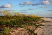 Beach Scenes Photo Originals - Sea Oats along the Beach by Barbara Bowen