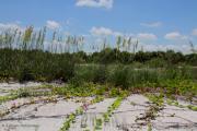 Barbara Bowen - Sea Oats and Blooming Cross Vine