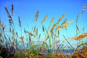 Sea Oats Photo Framed Prints - Sea Oats and Sea Framed Print by Thomas R Fletcher