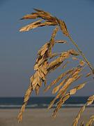 Hunting Island Posters - Sea Oats at Hunting Island State Park Poster by Anna Lisa Yoder