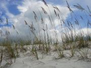 Sea Oats Digital Art Prints - Sea Oats at PCB Print by Anthony Allen
