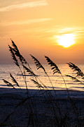 Seaoats. Sea Oats Framed Prints - Sea Oats at Sunrise Framed Print by Dawna  Moore Photography