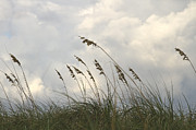 Seashore Metal Prints - Sea oats Metal Print by Blink Images