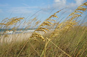 Seaoats. Sea Oats Framed Prints - Sea Oats by the Sea Framed Print by Lynda Dawson-Youngclaus