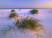 Sea Oats Prints - Sea Oats Growing On Beach Santa Rosa Print by Tim Fitzharris